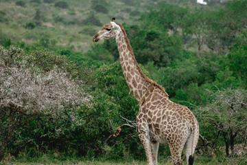 Giraffe standing in the bushland of south africa kwa zulu natal