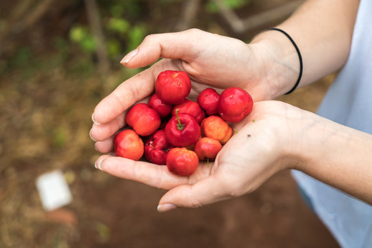 """Handful of a South American cherry called """"Acerola"""" also known as Barbados Cherry"""