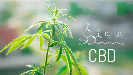 Cannabis CBD oil and structural chemical formula CBD. Medical extract. Cannabis concept.
