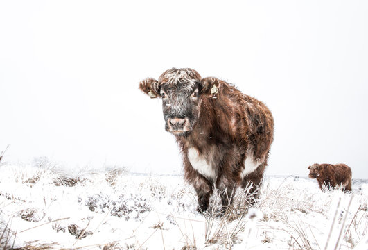 Hardy Highland Cattle in snow covered field