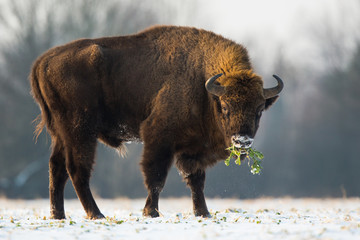 Garden Poster Bison European bison - Bison bonasus in the Knyszyn Forest (Poland)