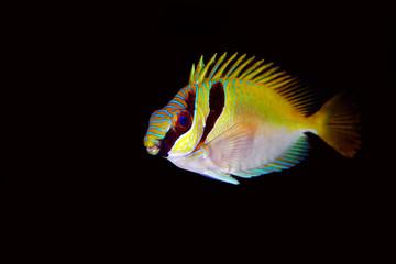 Two Barred Rabbitfish (Siganus virgatus)