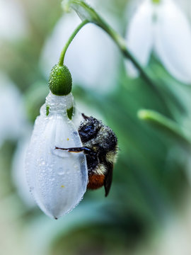 Bumblebee on Snow Drop Blossom