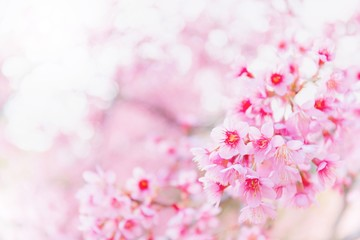 Blurred pink sakura and cherry flowers blossom in spring landscape garden background with copy space.