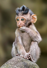 Papiers peints Singe Long tailed macaque monkey,sacred monkey forest, Bali,Indonesia
