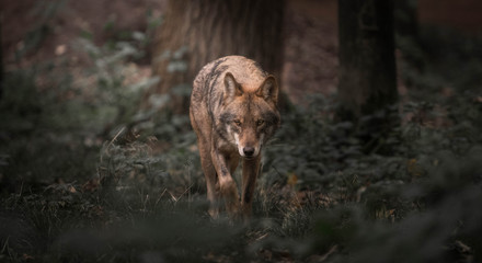 Foto op Aluminium Wolf Wolf walking in the woods