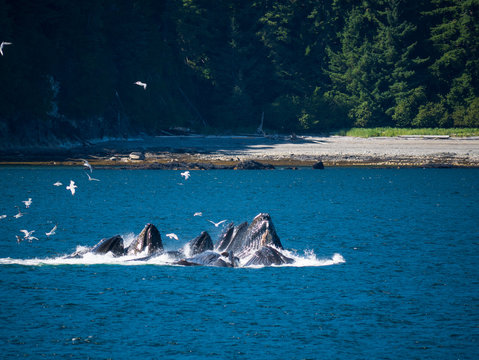 Whales breaching for krill