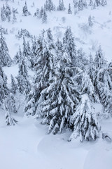 Winter landscape with snow covered firs. Snow covered Christmas trees. Christmas trees in the snow beautiful background.