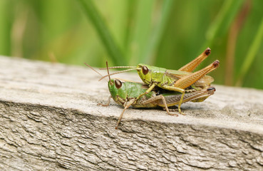 A mating pair of Meadow Grasshopper (Chorthippus parallelus) perching on a wooden fence.