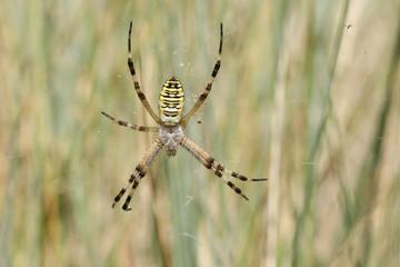 A pretty Wasp Spider (Argiope bruennichi) sitting on its web in the long grass.