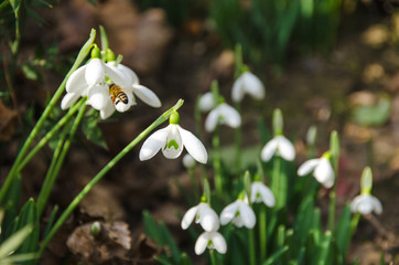 snowdrops in forest