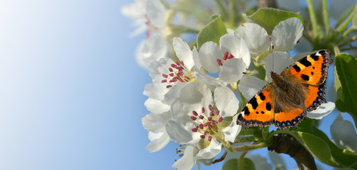 Birnenblüten im Frühling mit Schmetterling