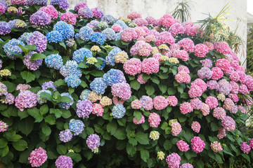 Fotomurales - Hydrangea is pink and blue flowers. Bushes are blooming in spring and summer in town street garden.