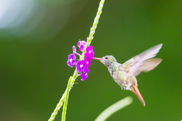 Hummingbird, Colibri thalassinus, beautiful green blue hummingbird from Central America hovering in front of flower background in cloud rainforests, Costa Rica.