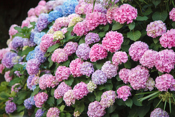 Fotomurales - Hydrangea is pink, blue, lilac, violet, purple flowers. Bushes are blooming in spring and summer in street garden outdoor.