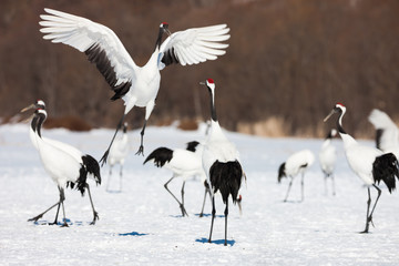 Red-crowned crane bird dancing on snow and flying in Kushiro, Hokkaido island, Japan in winter season