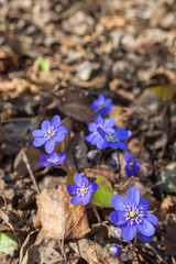 Liverleaf flower growing in the woods at spring