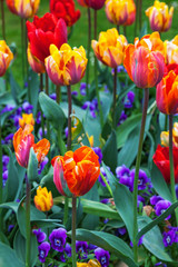 Colorful tulips in a garden in summer