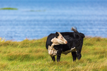Cow in the meadow at the beach