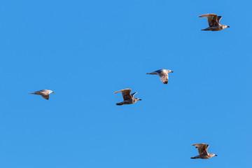Flock of Herring gulls at the sky