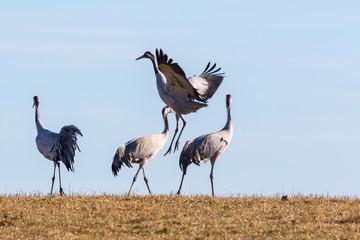 Crane dancing in the spring