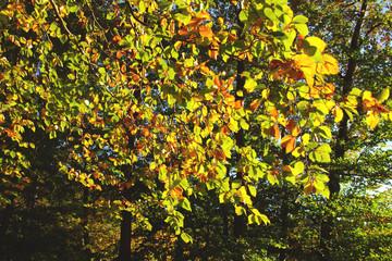 goldgelbes Laub der Rotbuche im Herbst