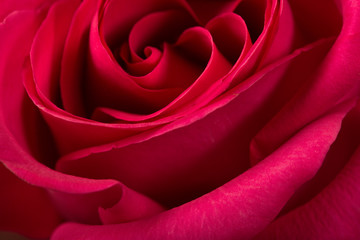 red rose background, close up shot, valentine day concept.