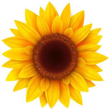 Sunflower isolated, vector illustration.