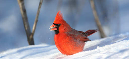 red male cardinal in nature during winter