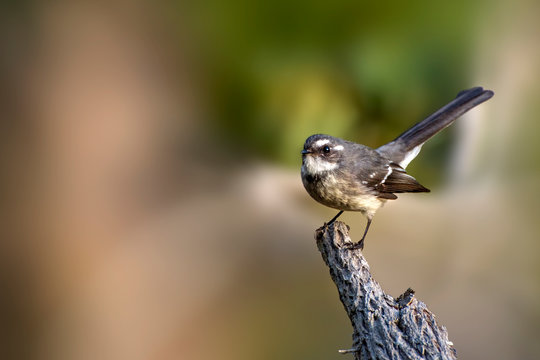 Grey Fantail - Rhipidura albiscapa - small insectivorous bird. It is a common fantail found in Australia