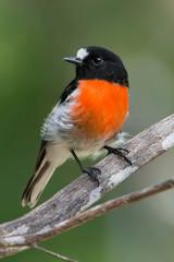 Scarlet Robin sitting on a branch , Perth Western Australian