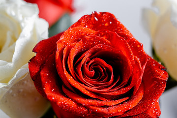 Beautiful pink rose with water drops macro picture  with copyspace. Red and white roses with sparkling water wallpaper. Horizontal view