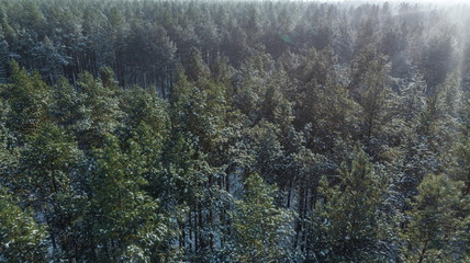 Aerial view of the pine forest in winter.