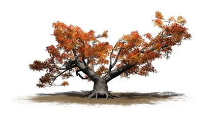 a single high Japanese Maple tree in autumn on a sand area - isolated on white background