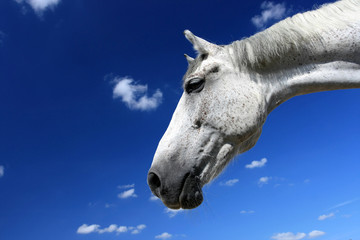 White horse portrait and blue sky