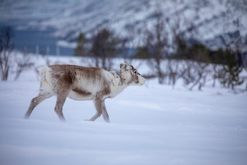 Reindeer in the wind and snow