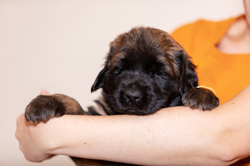 Little leonberger puppy sits at beige background
