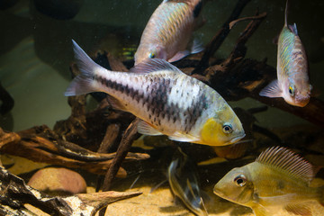 Spanner Barb (Barbodes lateristriga) a tropical fish