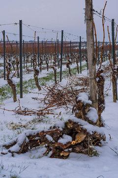 old vines lie in front of a vineyard with pruning in winter in Rheinhessen, Rhineland-Palatinate, Germany