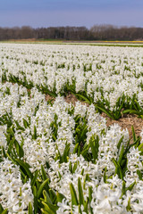 row of white dutch common  hyacinth flowers close up low angle of view with blue sky background
