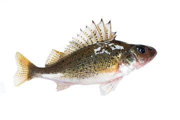 Fish ruff (Gymnocephalus cernuus) isolated