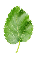 green leaf of mulberry