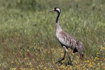 Crane Walking in the Field in Vomb Sweden