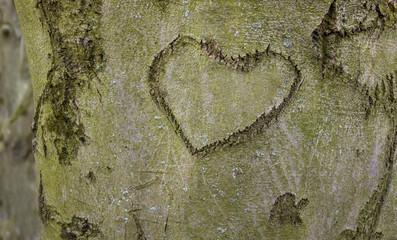 Herz wurde in Rinde eines Baumes geschnitzt