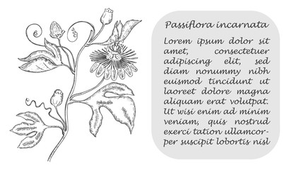 Banner with Black Maypop and Place for Text