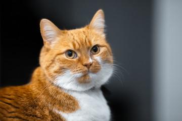 Close-up portrait of red white Norwegian cat.