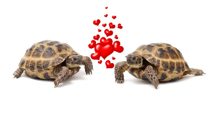 Two land tortoises on a white background. Valentine's Day. Love. Couple.