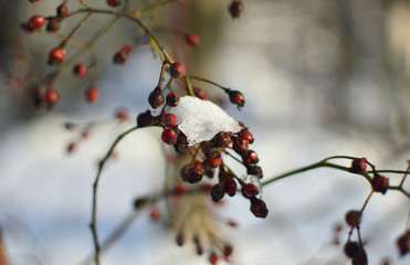 A branch of wild rose under snow on a blurred background on a sunny winter day