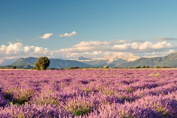 Fototapeta Lavender 30 obraz