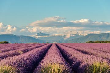 Fototapeta Lavender 31 obraz